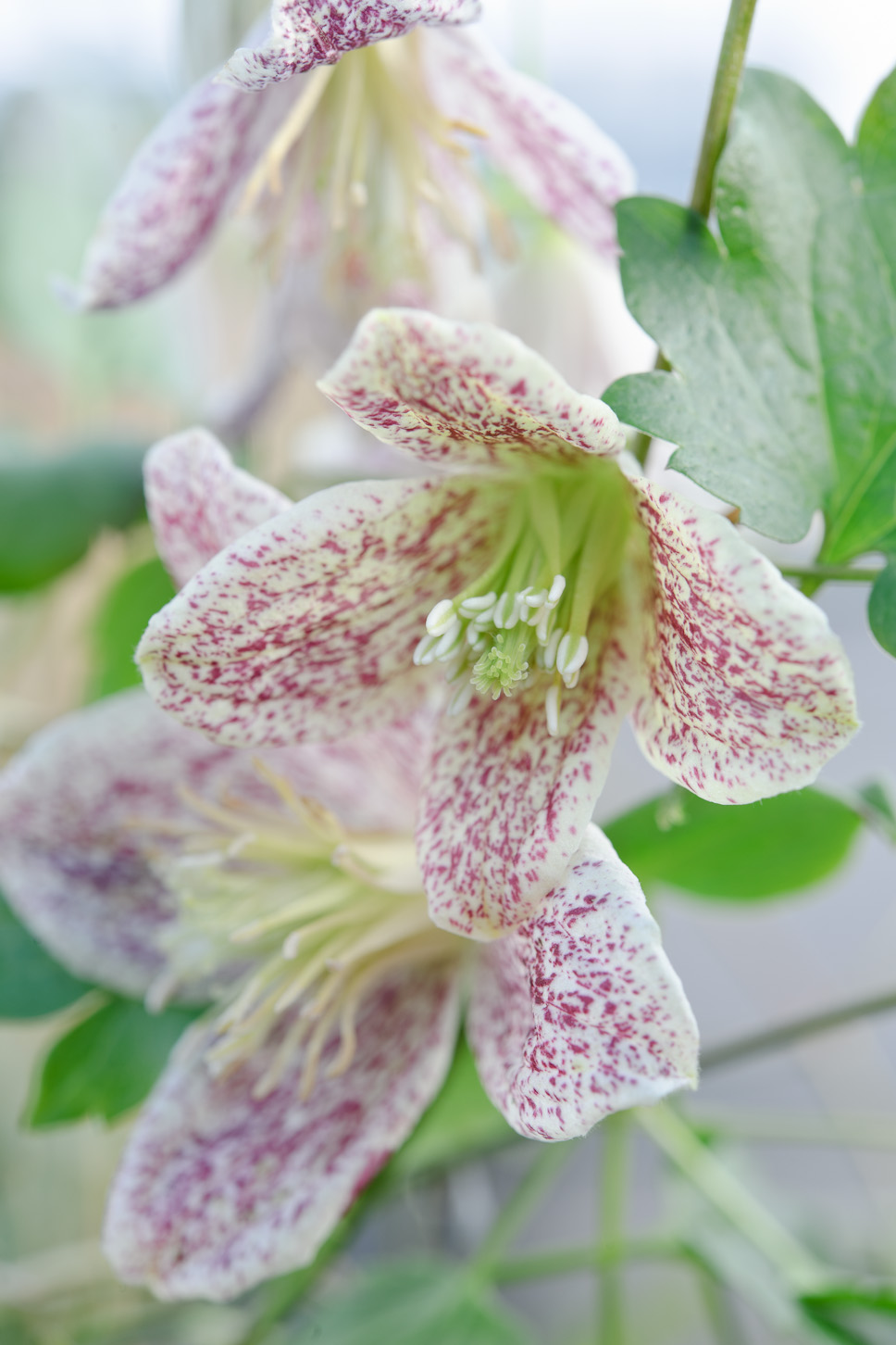 Winter Flowering Clematis The