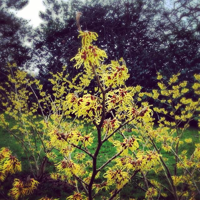 Hamamelis mollis ( Chinese witch-hazel ) #gardening #gardenphotography #Hamamelis mollis #chinesewitchhazel