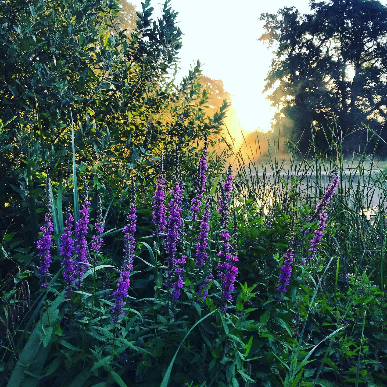 Lythrum salicaria (Purple-loosestrife)...#gardenphotography #gardenphotographer #Purpleloosestrife #lythrumsalicaria #plantphotography #plantphotographer #shotoniphone #sunrise #wetlandplants #wetlandplanting