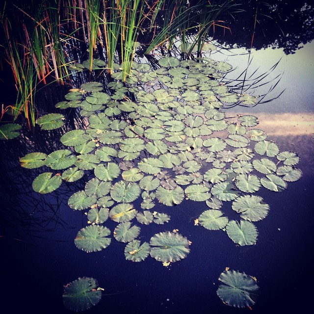 Lily Pads at daybreak #lilypads #daybreak #gardenphotography