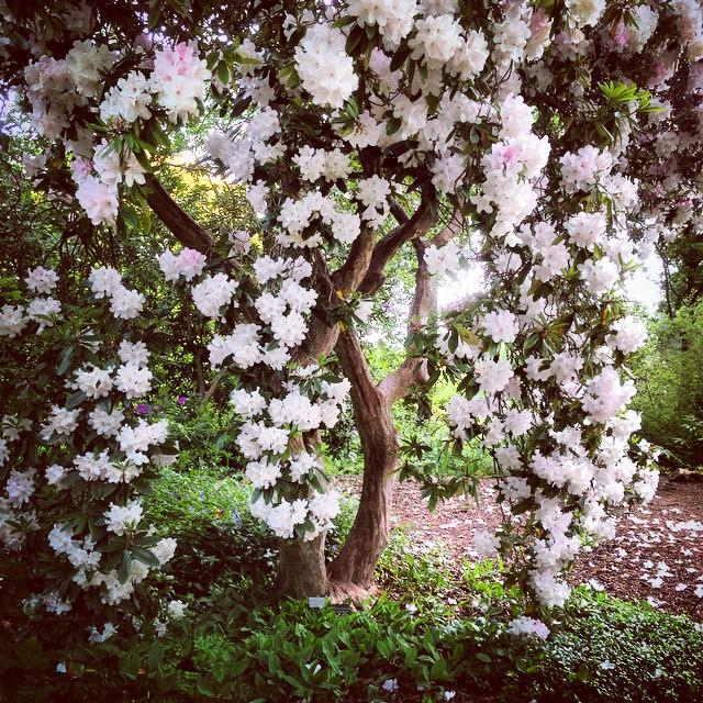 Rhododendron 'Halopeanum' #RHSWisley #Rhododendron #gardenphotography #Rhododendronhalopeanum