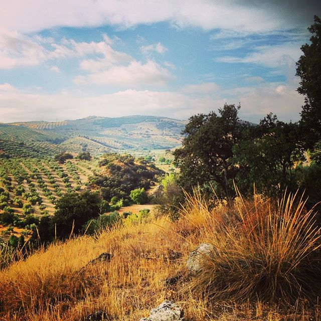 Olive groves #andalucia #holiday #olivegroves