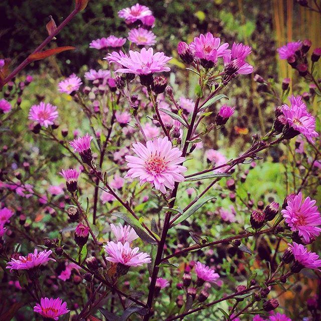 Aster 'Bee Lee Elliot' #gardenphotography #aster #asterbeeleeelliot