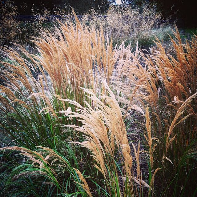 Stipa trial at RHS Wisley #rhswisley #gardenphotography #stipa