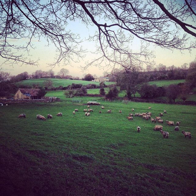 Christmas Eve walk #Christmaseve #sheep