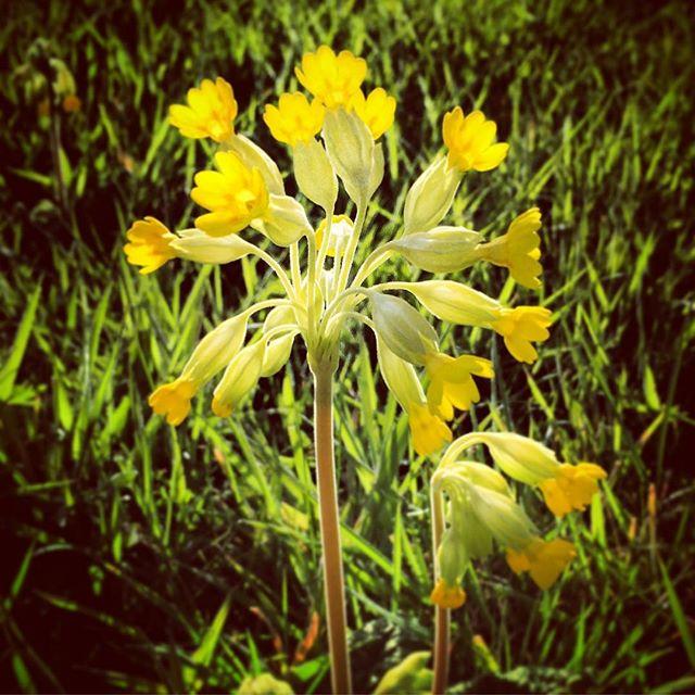 Primula Veris #primulaveris #cowslip #Spring