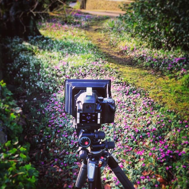 Behind the camera, Cyclamens and Snowdrops #gardenphotography #cyclamens #galanthusnivalis #snowdrops #waiting #phaseone