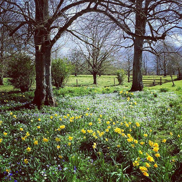 Spring #Spring #narcissus #lytescary