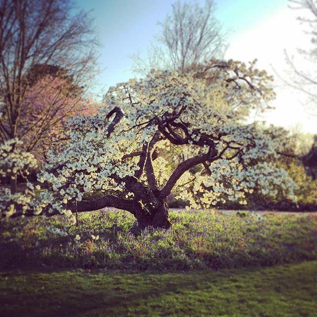 Prunus 'Shirotae' #gardenphotography #prunus #prunusshirotae #rhswisley #springblossom #cherryblossom