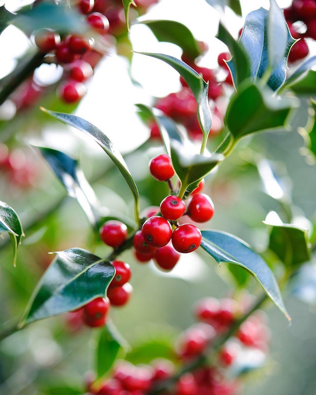 Ilex aquifolium 'Alaska'...#ilex #holly #ilexaquifoliumalaska #christmas #gardenphotographer #gardenphotography #nikon #nikonphotography #nikonphotographer #nikonuk #redberries