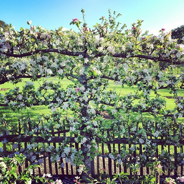 Apple 'Red Miller's Seedling' Dessert Espalier #blossom #gardenphotography #rhsrosemoor #appleredmillersseedling #espalier