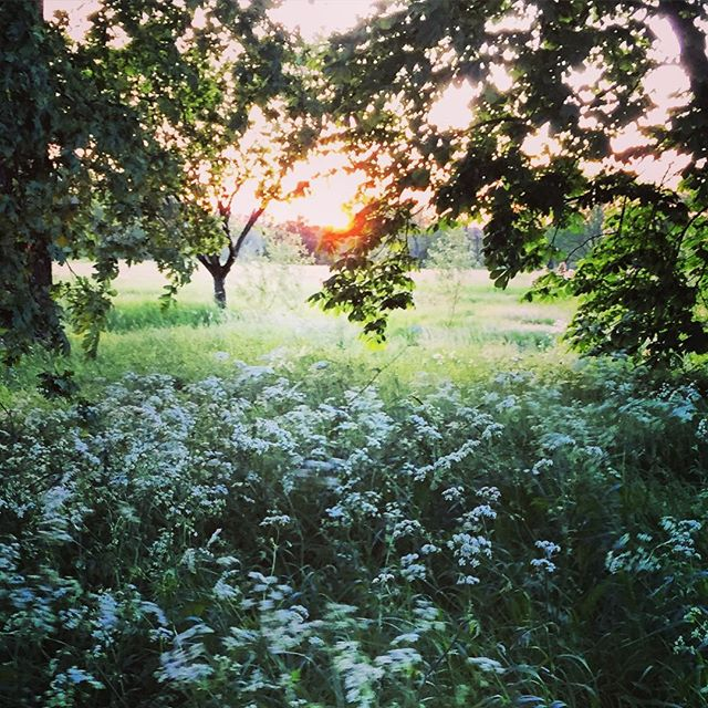 Cow Parsley at Sunset #cowparsley #gardenphotography #sunset