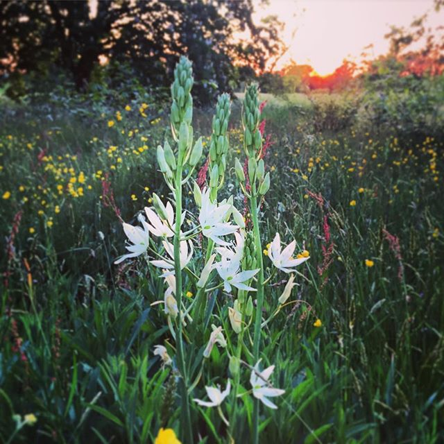 Meadow with White Camassias #gardenphotography #sunset #lastshotoftheday #camassia #whitecamassia