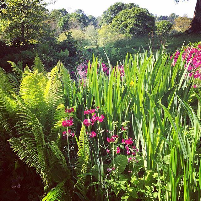 Primulas and Ferns at RHS Rosemoor #gardenphotography #primulas #ferns #rhsrosemoor