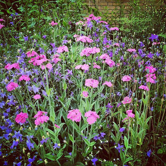 Lychnis flos-jovis with Campanula Patula #gardenphotography #Lychnisflosjovis #campanulapatula