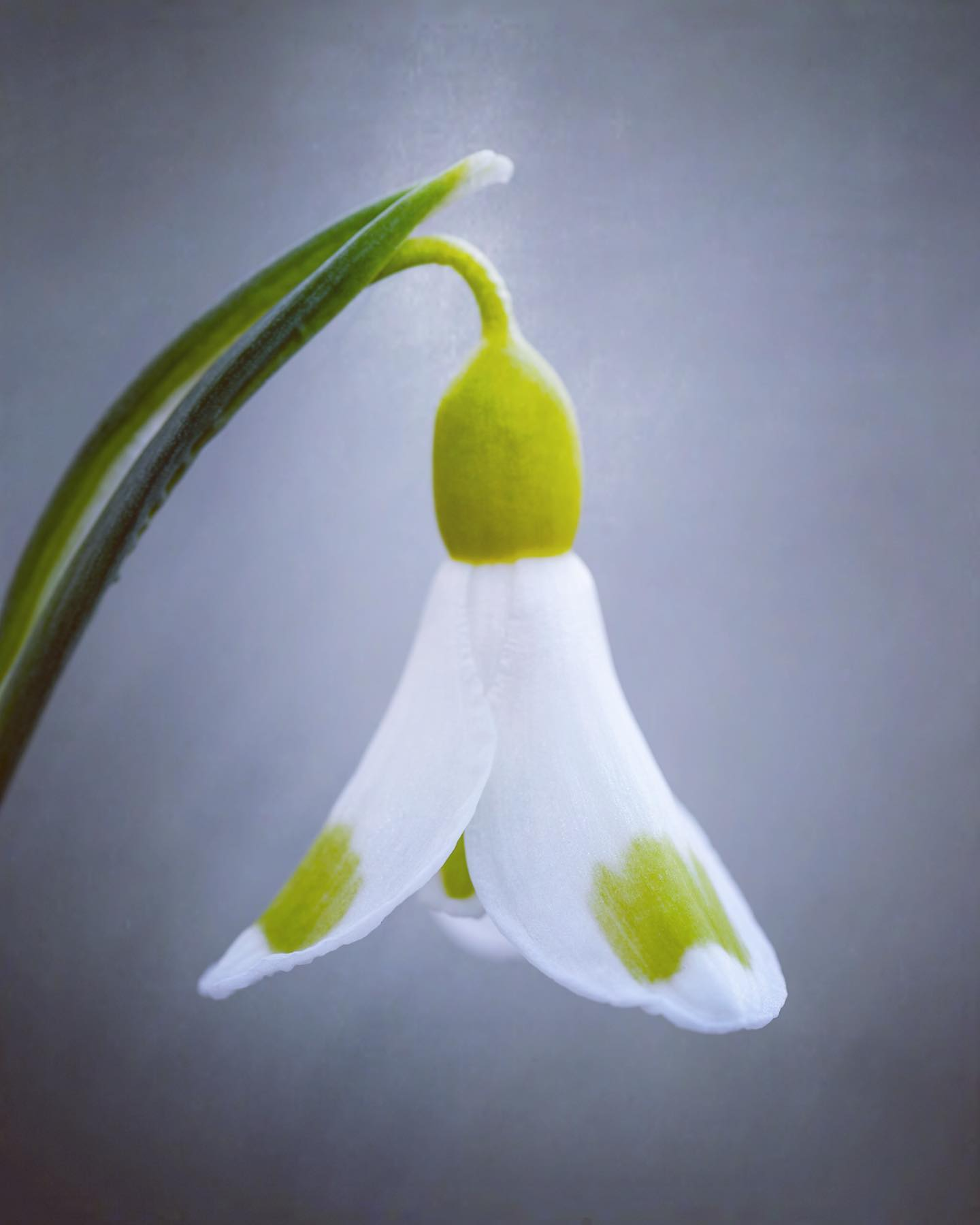Galanthus 'Golden Fleece', bred by notable nurseryman Joe Sharman. On February 23rd 2015 it was auctioned for an unbelievable £1,390.00. Part of my feature in @gardens_illustrated on propagating Snowdrops this month. Brilliantly written by Rory Dusoir @kennedysongdusoir ...#galanthus #snowdrops #snowdrop #rorydusoir #gardensillustrated #winterbulbs #galanthusgoldenfleece #gardenphotography #gardenphotographer #plantphotography #plantphotographer #nikon #nikonphotography #nikonphotographer #joesharman