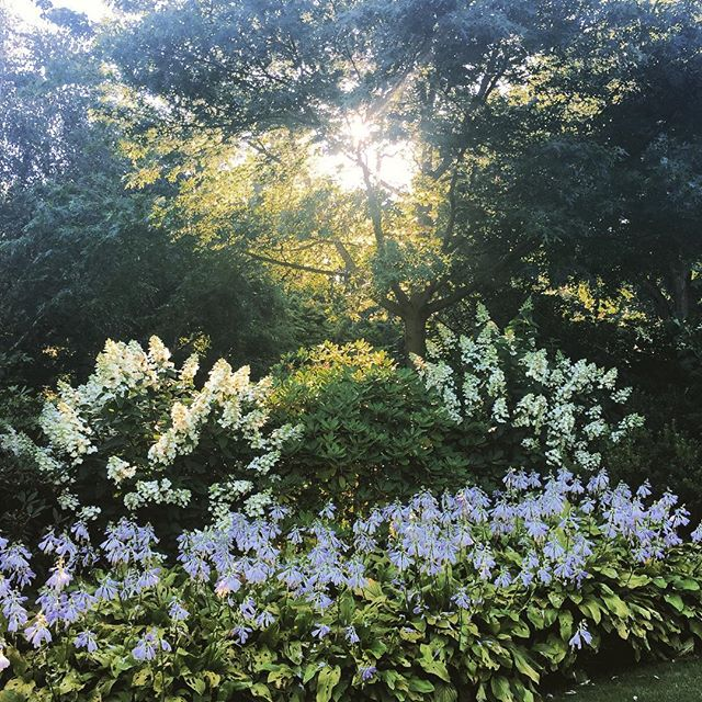 Hostas and Hydrangeas on Battleston Hill at first light, RHS Wisley #battlestonhill #rhswisley #gardenphotography