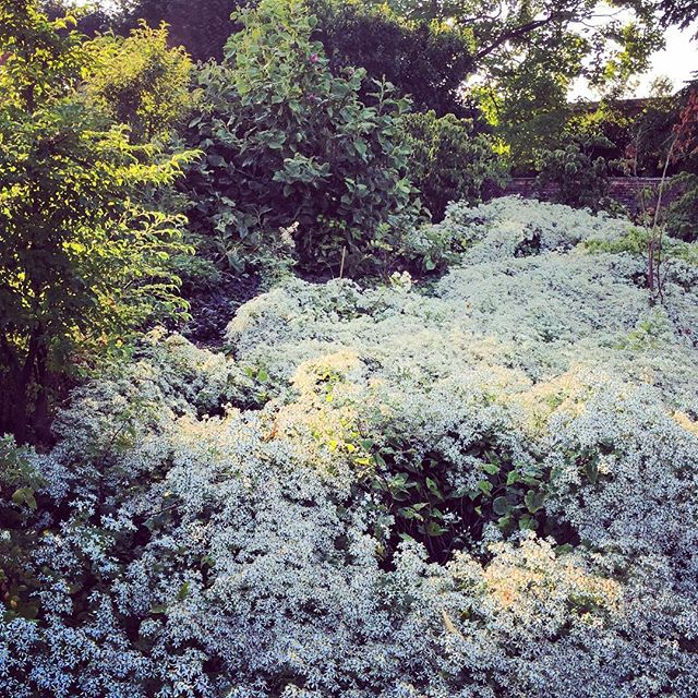 Swathes of white asters #asters #gardenphotography #whiteasters