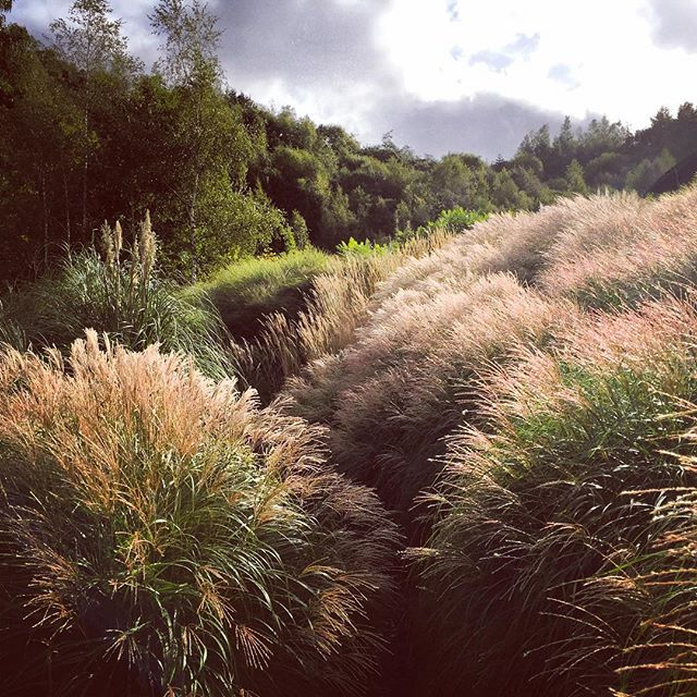 Miscanthus at the Eden Project #gardenphotography #edenproject #miscanthus #edengardens