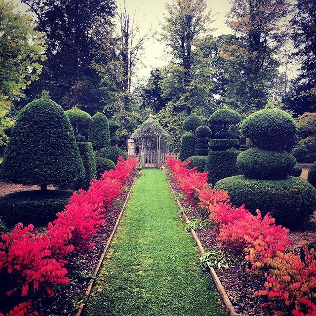 Hedge of Euonymus alatus 'Compactus' #gardenphotography #euonymus #euonymusalatuscompactus #autumn