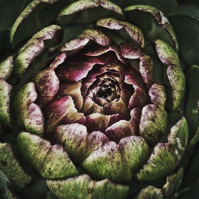#Repost @englandgrows with @repostapp・・・Globe artichoke, Cynara cardunculus var. scolymus #englandgrows #globeartichoke #Cynaracardunculus
