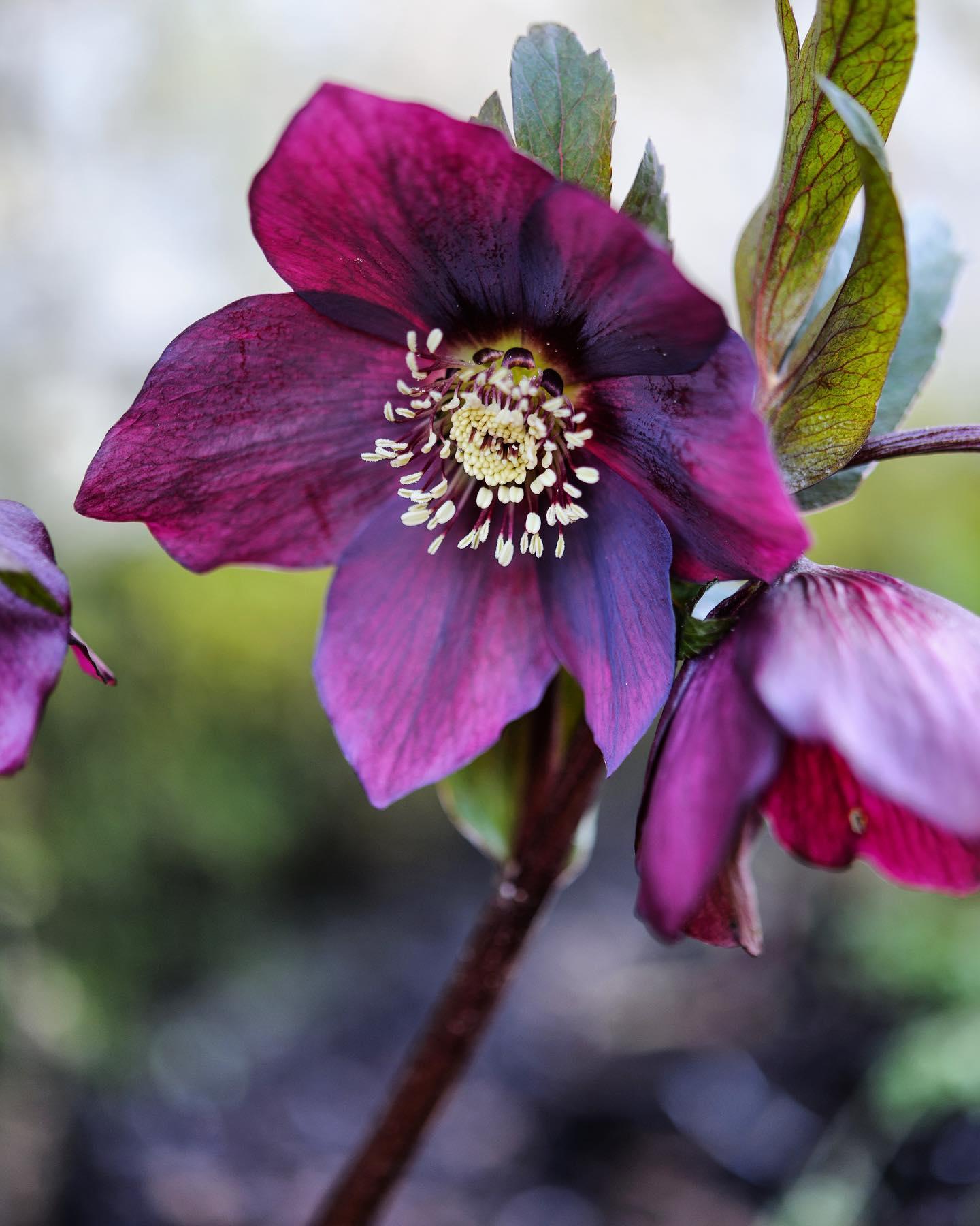 Helleborus × hybridus 'Harvington Shades of the Night'...#hellebore #helleborus #helleborusxhybridus #winterplants #gardenphotography #gardenphotographer #plantphotography #plantphotographer #nikonphotography #nikon #nikonuk