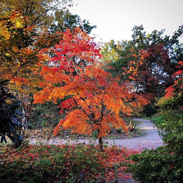 Acer Palmatum 'Elegans' #rhswisley #acerpalmatumelegans #acer #gardenphotography #acerpalmatum #autumncolour