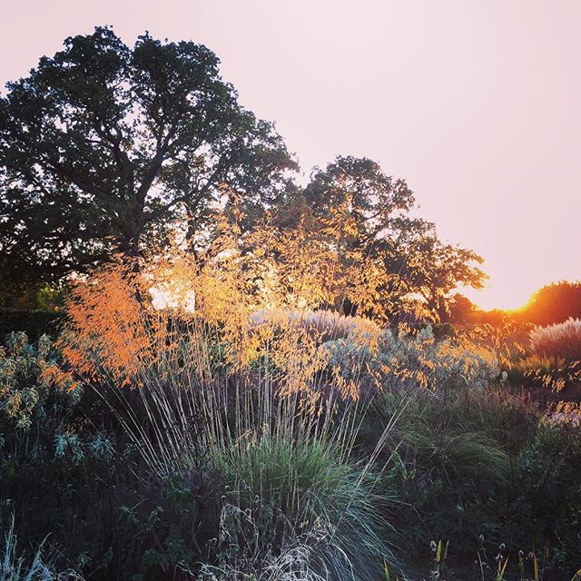 Stipa gigantea catching the last light #Stipa gigantea #gardenphotography #rhswisley #sunset