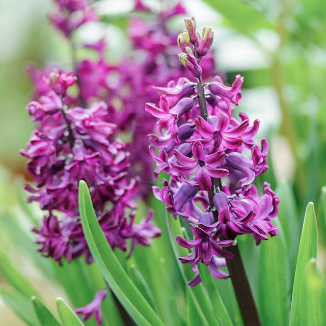 Hyacinthus orientalis 'Woodstock', one of my favourites. Shot for @gardens_illustrated as part of Mat Reese's February plants. #gardenphotography #gardensillustrated #hyacinthwoodstock #spring