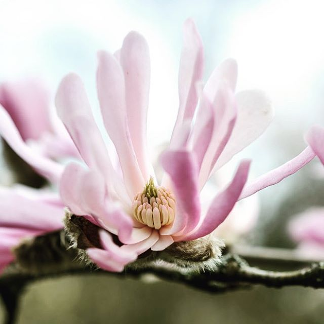 Magnolia x loebneri 'Raspberry Fun' #gardenphotography #magnolia #magnoliaxloebneri #spring #kewgardens