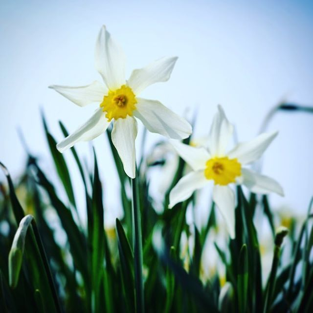 Narcissus 'Mrs Langtry', heritage daffodil variety grown by Ron Scamp #spring #gardenphotography #narcissus #daffodils #narcissusmrslangtry #ronscamp #qualitydaffodils