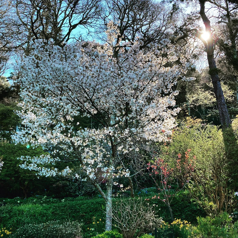 Prunus 'Jo-nioi' @rhsrosemoor this morning...#rhsrosemoor #Prunus #cherryblossom #gardenphotography #gardenphotographer #shotoniphone #devon #devongarden #spring #springtime #springblossoms #springgarden