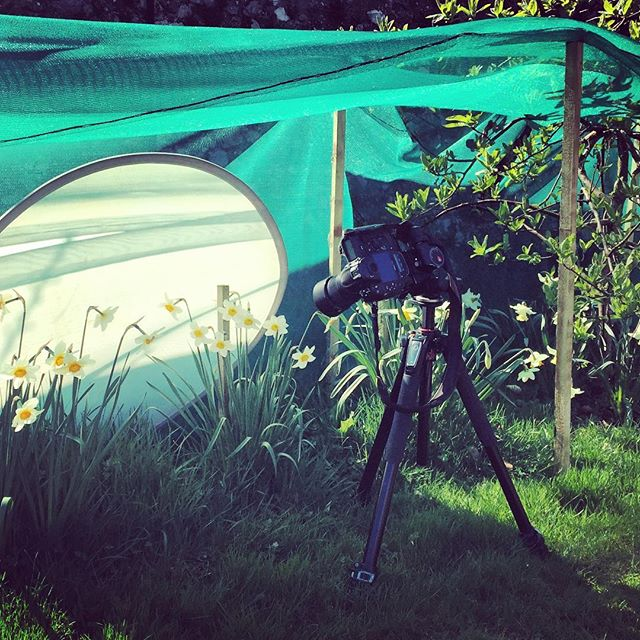 Today's complicated set up for shooting Daffodils in Scotland. The entire collection has been netted to hold them back for our shoot, it has been worth it. Still need a little extra shading #gardenphotography #narcissus #daffodils #behindthescenes