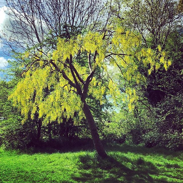 Spotted the most glorious Laburnum on my dog walk today #cliftondowns #laburnum #gardenphotography