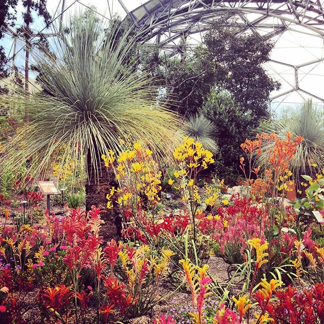 Kangaroo Paw in the Western Australian Biome at The Eden Project at first light #kangaroopaw #edenproject #gardenphotography #westernaustralianbiome #biome