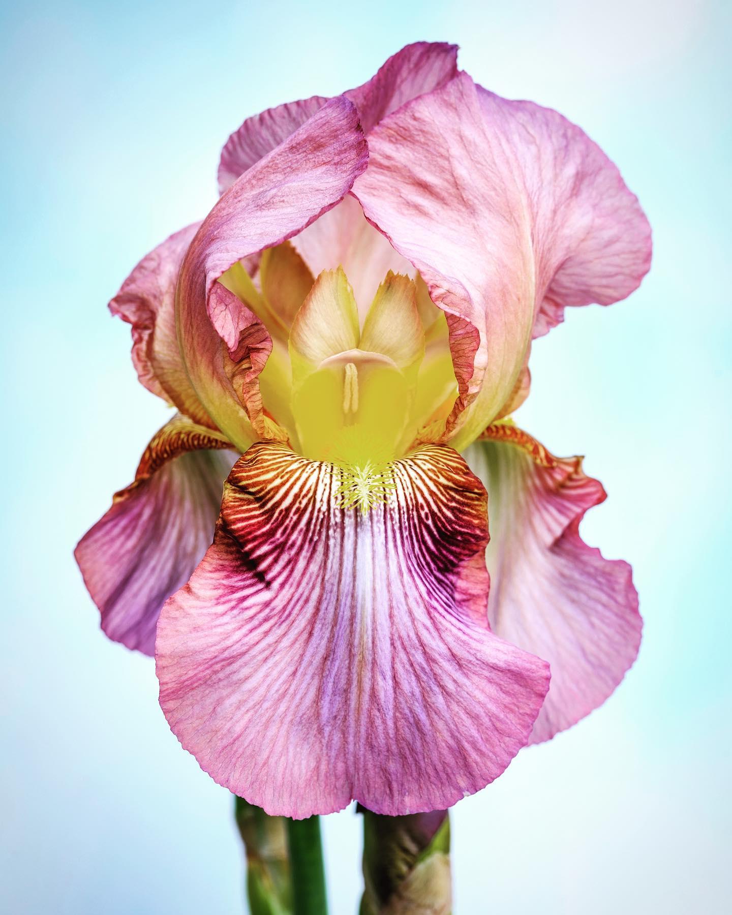 Cedric Morris Iris 'Benton Baggage'...#gardenphotographer #gardenphotography #plantphotography #cedricmorris #cedricmorrisirises #irisbentonbaggage #botanicalphotography #nikonphotography #nikonuk #nikonphotographer #bentonend #bentonirises