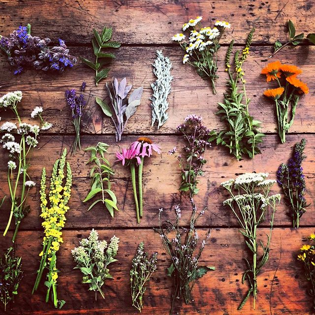 Lovely day shooting herbs at The Organic Herb Trading Company #herbs #gardenphotography #theorganicherbtradingcompany #organicgardening #organicherbs