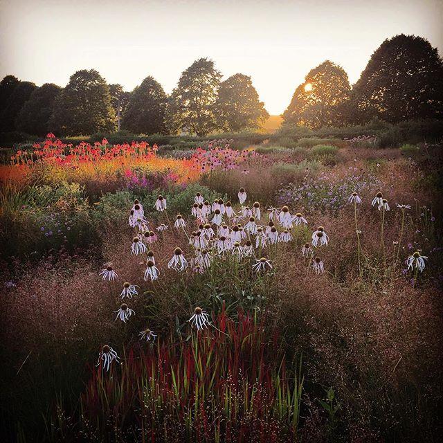 Sunset #gardenphotography #pietoudolf #hauserandwirth #hauserandwirthsomerset #echinaceapallida