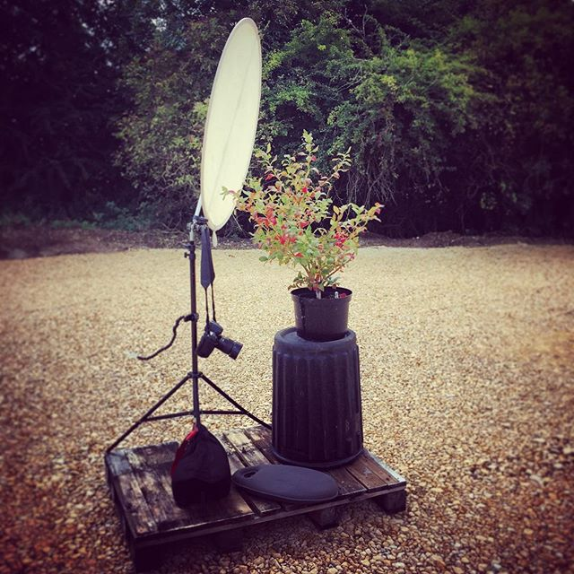 My set up today for a blueberry trial, 16 varieties to shoot on top of a bin #behindthescenes #blueberries #gardenphotography
