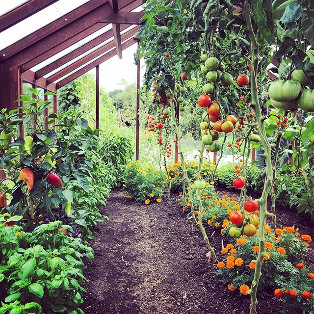 Inside one of @charles_dowding impeccable greenhouses @gardenersworldmag @catherinemansley #nodig #gardenersworldmagazine #charlesdowding #tomatoes #greenhouse #gardenphotography