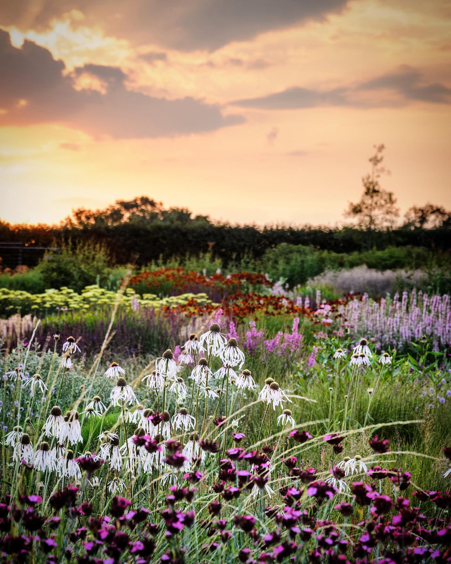 Sunrise in the Oudolf Field @hauserwirthsomerset @pietoudolf ...#pietoudolf #hauserandwirth #hauserwirthsomerset #dursladefarm #oudolffield #plantingtheoudolfgardens #gardenphotography #gardenphotographer #somerset #somersetgarden