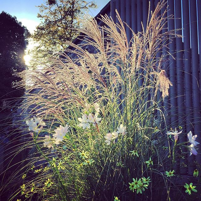 Miscanthus 'morning light' @bob_purnell #miscanthusmorninglight #miscanthus #backlit #gardenphotography #gardenphotographer