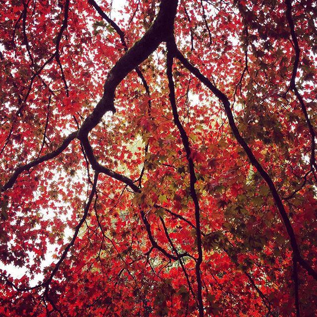 Acer Palmatum ssp. Amoenum #gardenphotography #acerpalmatum #westonbirt #acerpalmatumsspamoenum #autumncolour #westonbirtarboretum