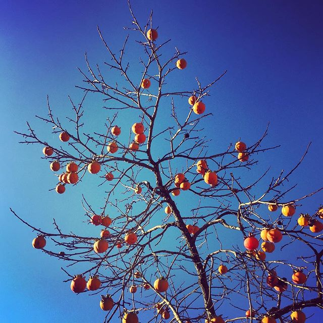 Persimmon tree against a deep blue sky on today's shoot. #persimmontree #persimmon #bluesky #gardenphotographer #gardenphotography #fruit #persimmonfruit