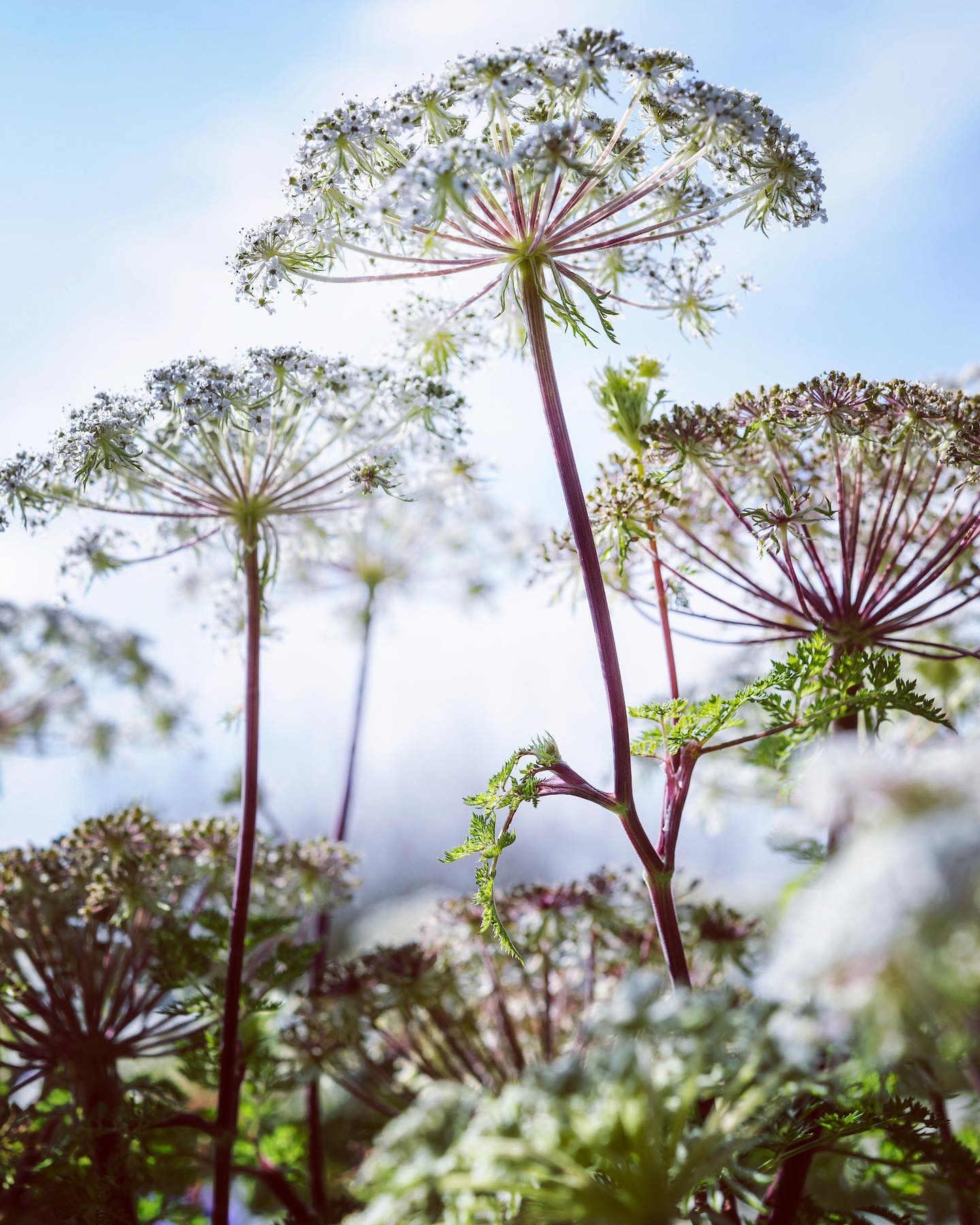 Selinum wallichianum ...#plantphoto #plantphotography #plantphotography #plantphotographer #selinumwallichianum #garden #gardenphotography #gardenphotographer #plantsofinstagram #nikonnordic #nikon #nikonphotography #nikonphotographer