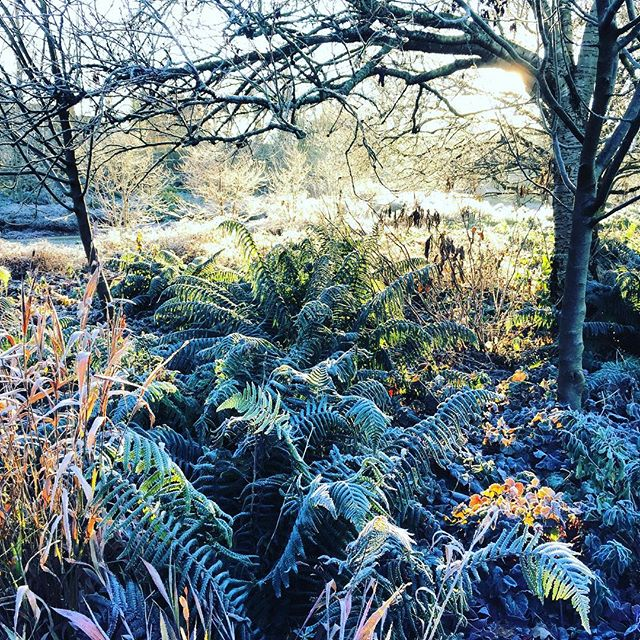 Frosty ferns on this mornings shoot #gardenphotographer #gardenphotography #frost #ferns #frostyferns