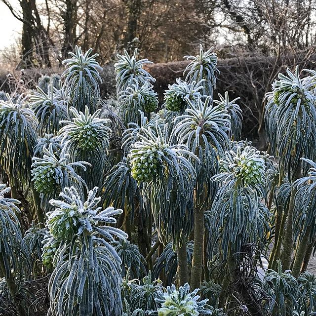 Frosty euphorbia from this mornings shoot with @marianboswalllandscapes , thanks for getting up so early, all week 🙂 #euphorbia #gardenphotography #gardenphotographer #wintergardens
