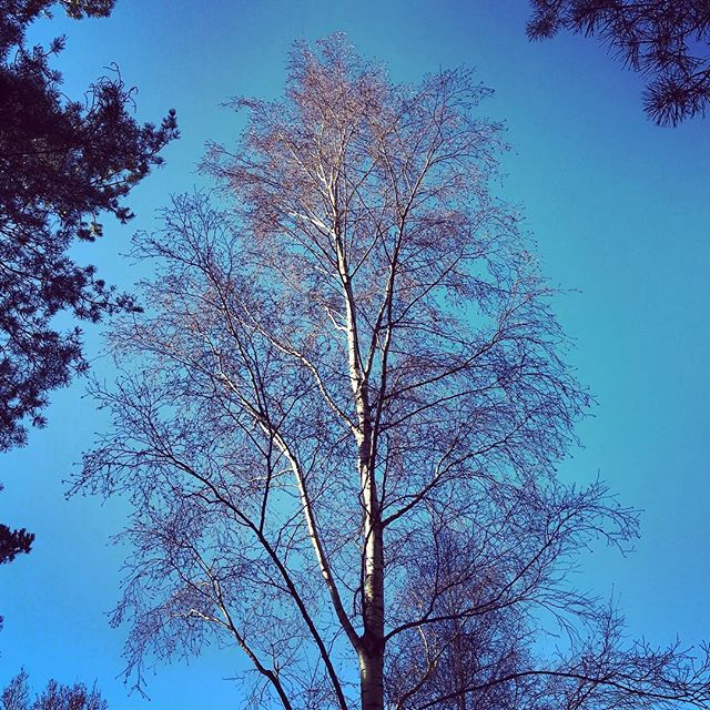 Betula utilis var. jacquemontii against a deep blue sky #gardenphotography #gardenphotographer #Betulautilisjacquemontii #silverbirch