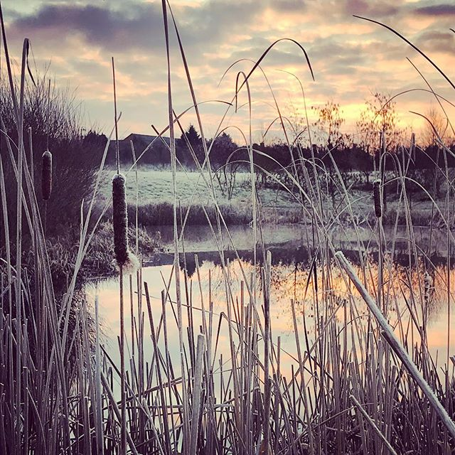 Typha latifolia (Bulrushes) - frosty morning shoot at sunrise #typhalatifolia #bulrushes #frostymorning #sunrise #gardenphotography #gardenphotographer