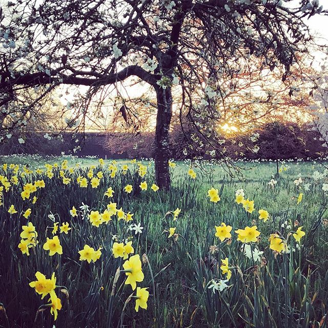 Beautiful Spring morning #narcissus #gardenphotography #gardenphotographer #blossom #spring #sunrise